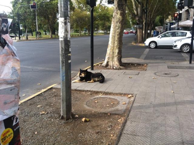 traffic-dog